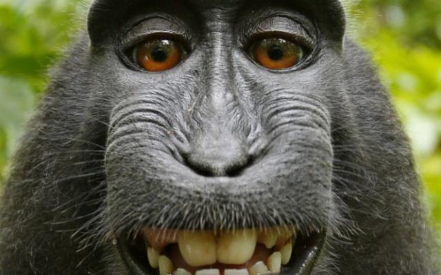 Wikipedia gana la batalla del selfie del mono